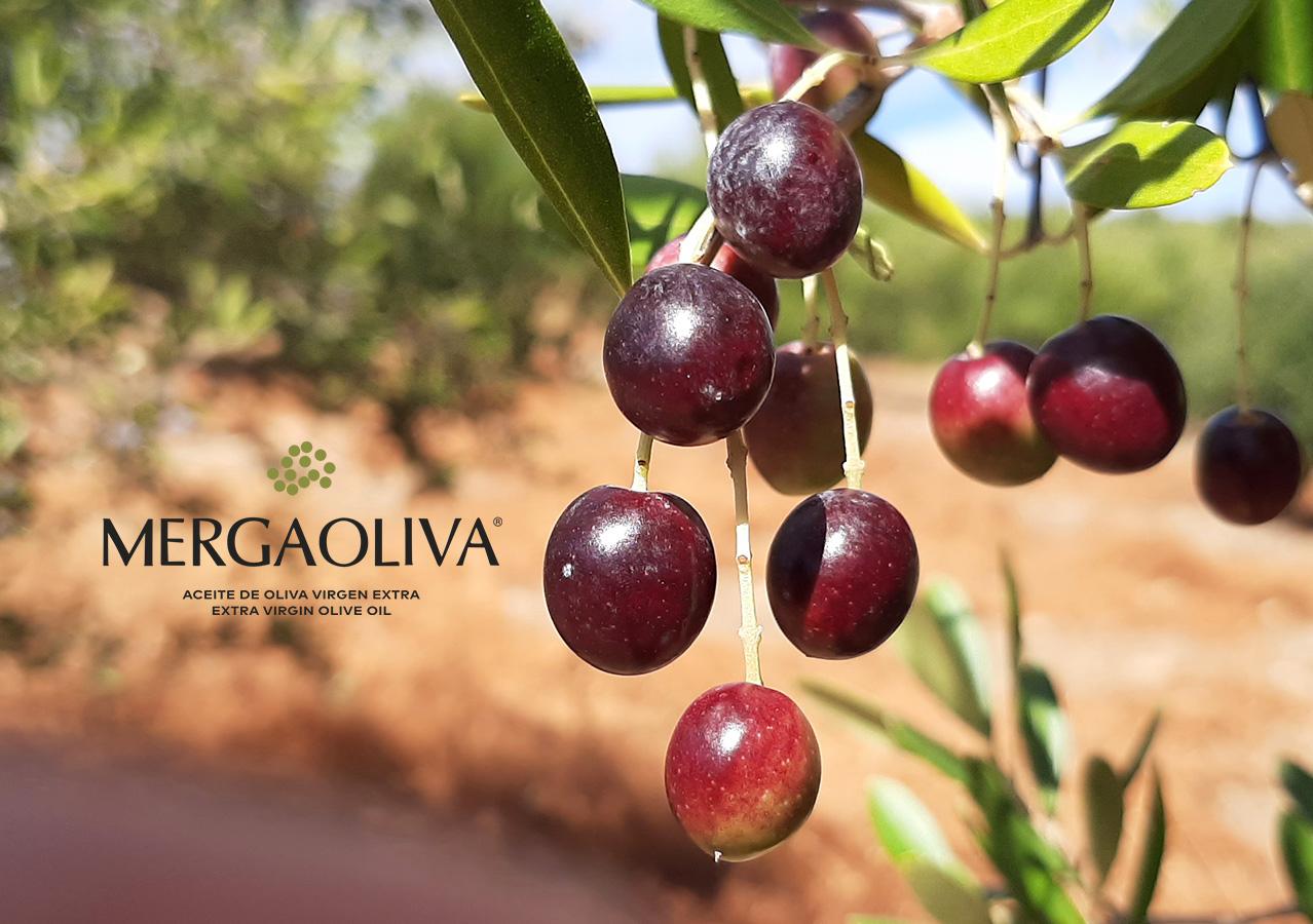 acebuchina olivo silvestre