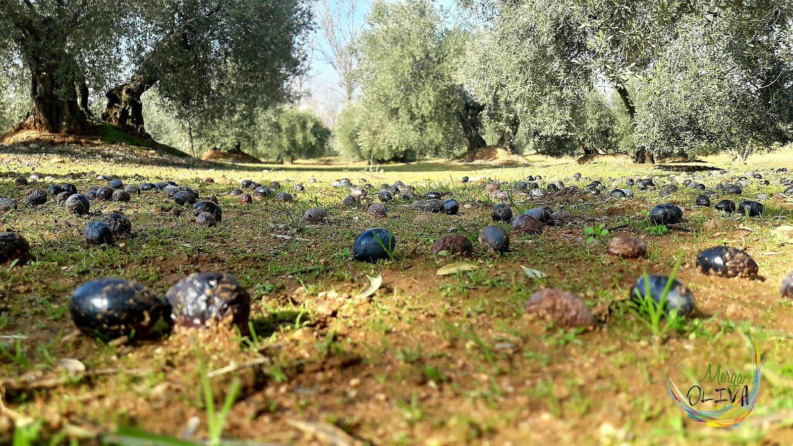 Olivar de Jaén aceituna suelo