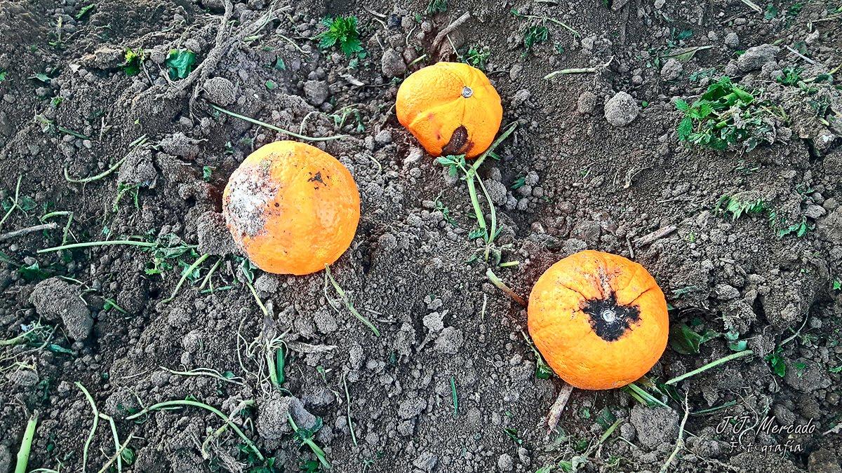 fermented orange