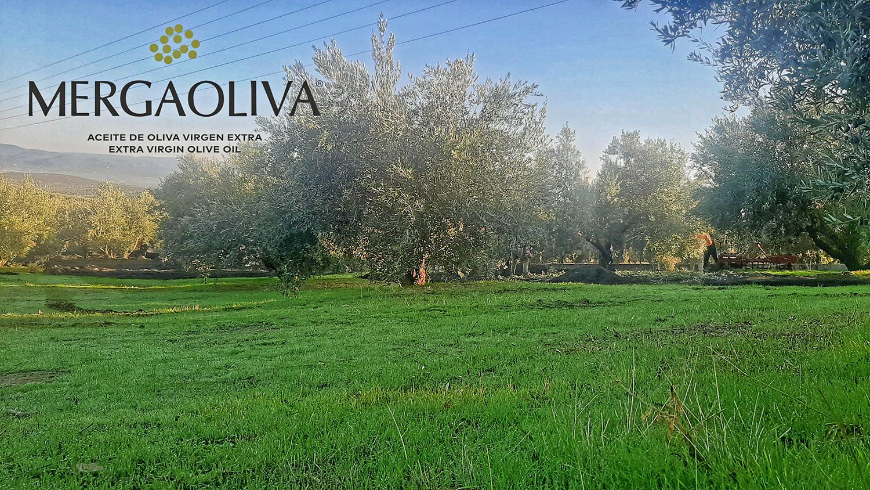 olive tree in Jaén