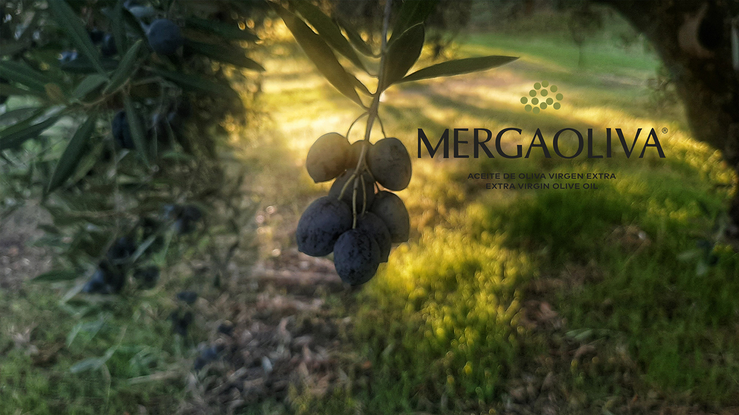 olive tree picual