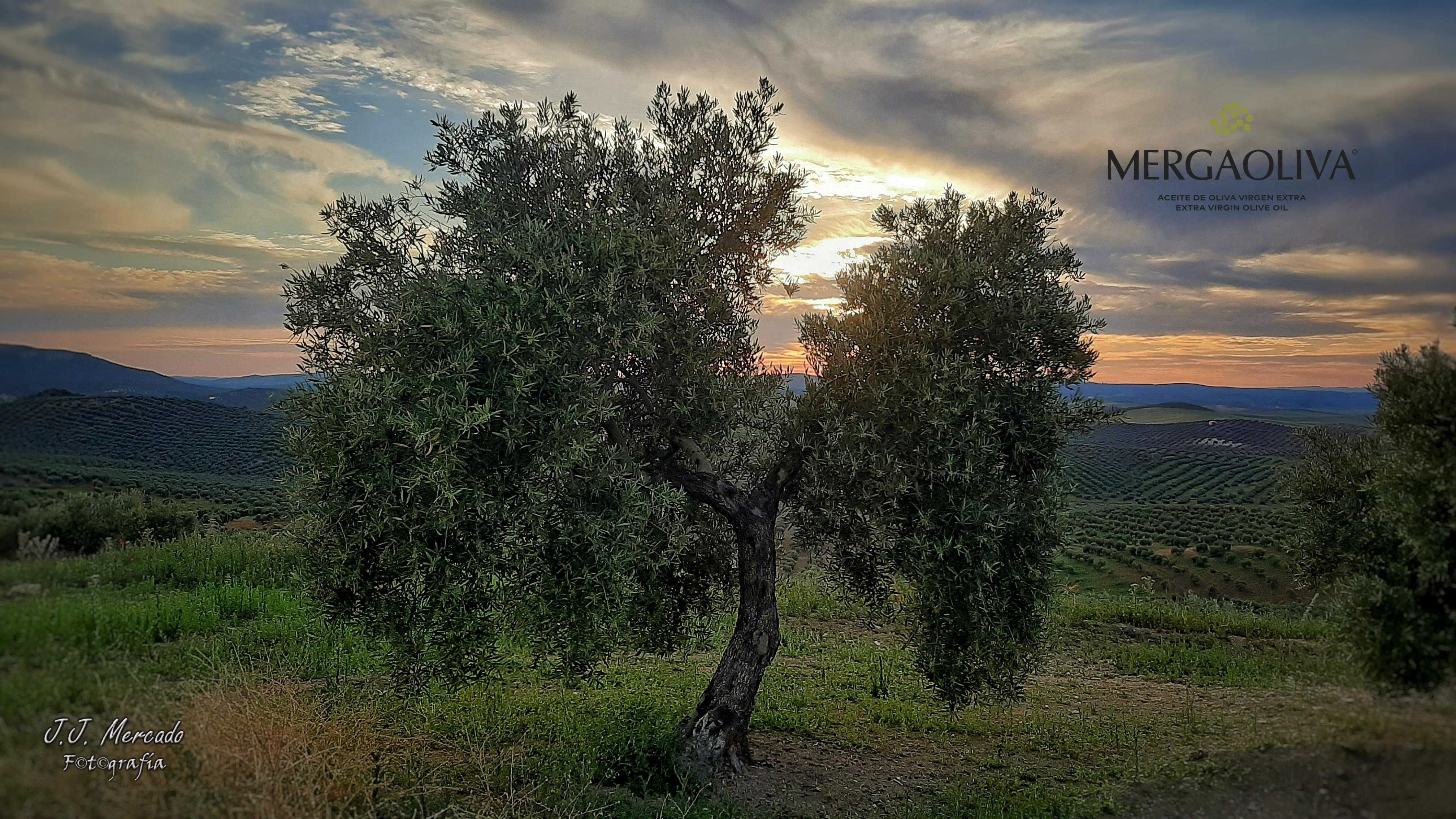 Mergaoliva: Olive grove in Jaén.